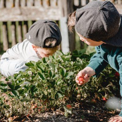 Frische Erdbeeren vom eigenen Garten