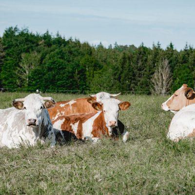 Die Kühe genießen die Sonne
