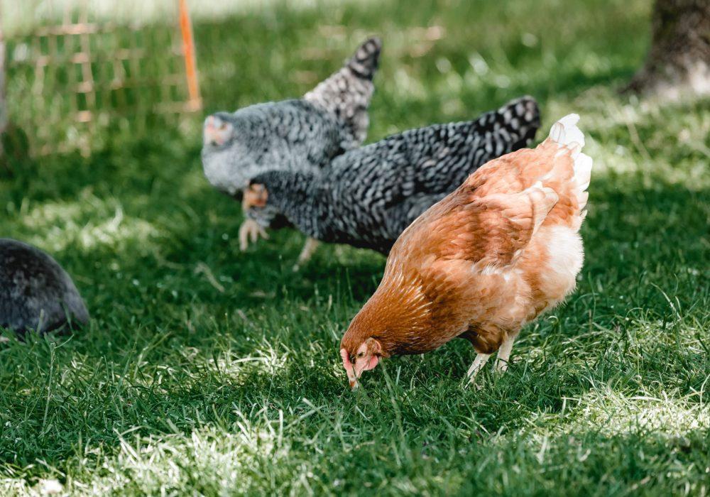 Die Hühner genießen ihren Auslauf